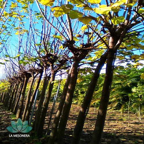 La Mesonera | Plantaciones