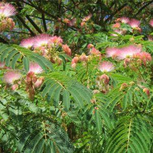 La Mesonera | árbol de la seda