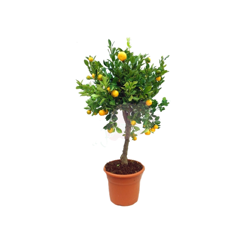 CALAMONDIN copia
