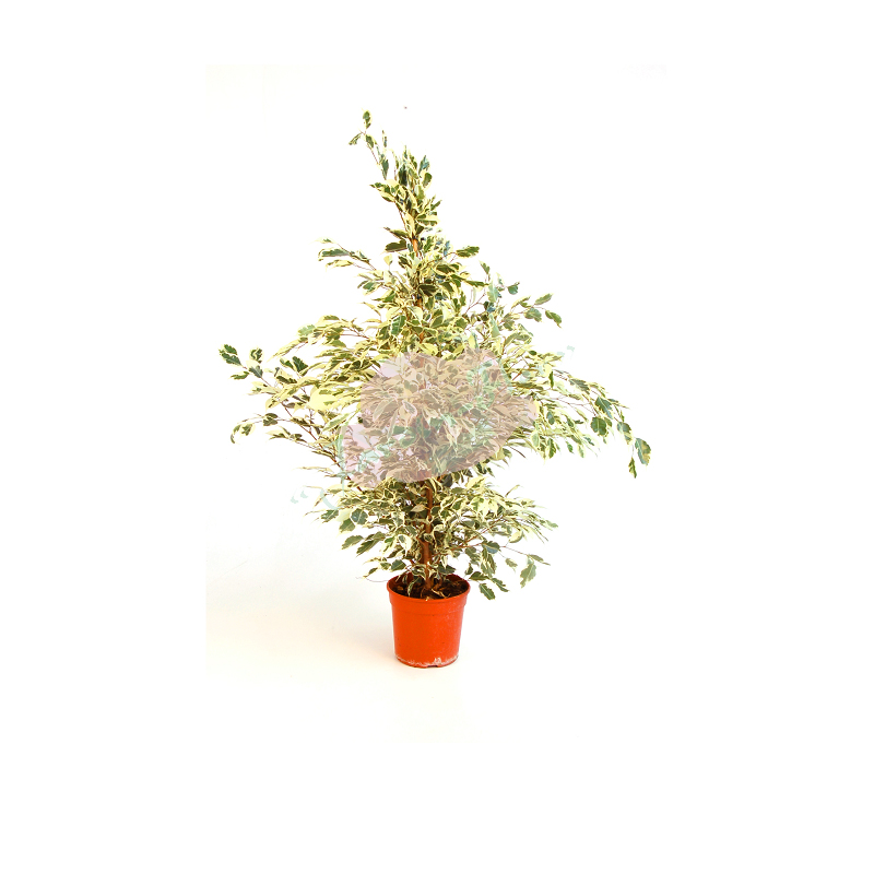 FICUS TWILIGHT copia
