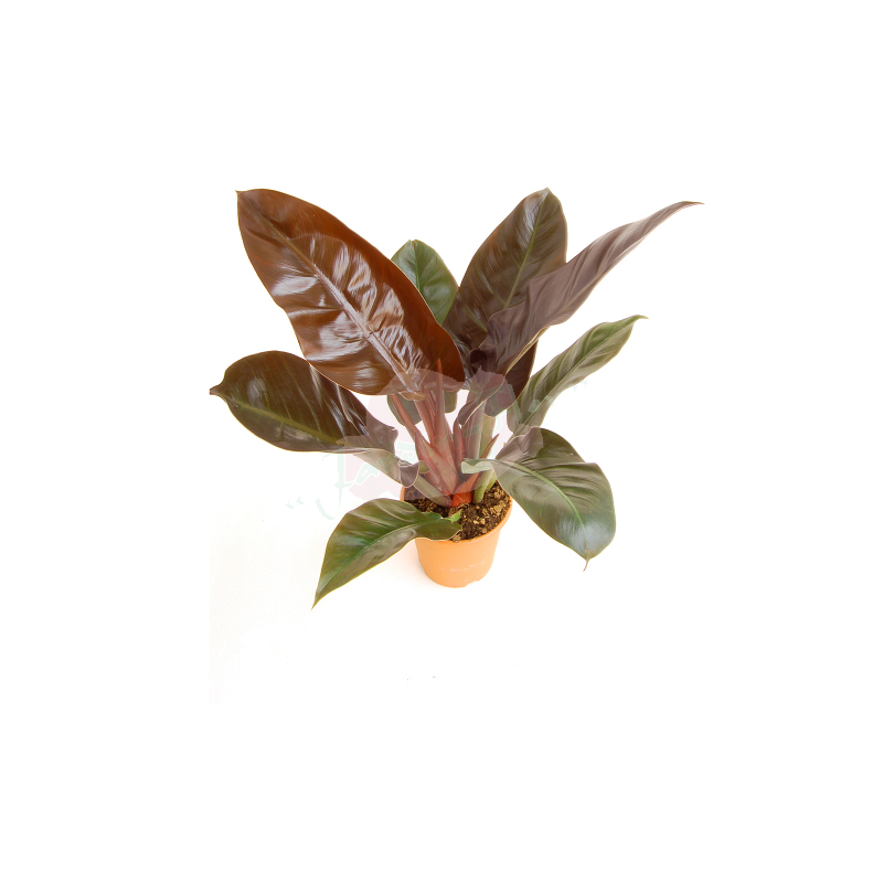 PHILODENDRON IMPERIAL RED copia