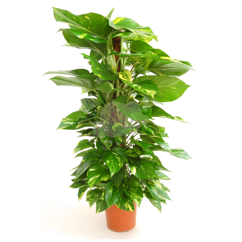 POTHOS TUTOR copia