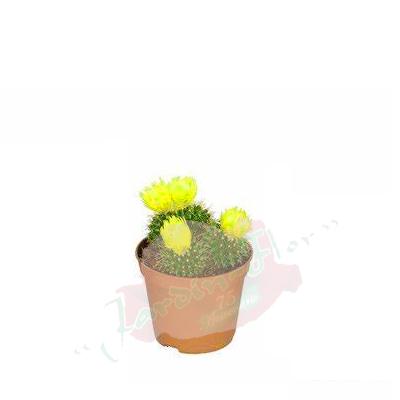 cactusminiamarillo