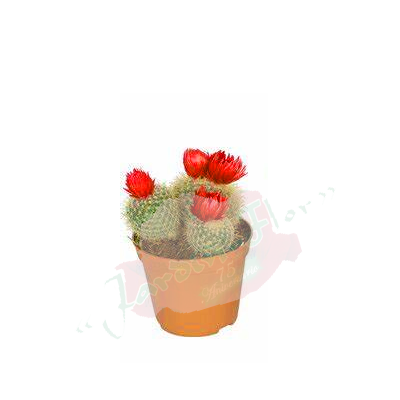 cactusminirojo copia