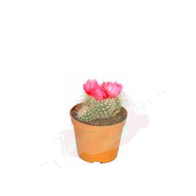 cactusminirosa